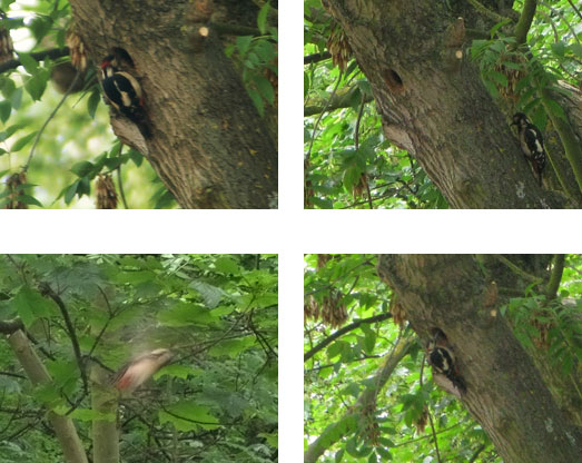 Woodpeckers in Dog Kennel Hill Wood
